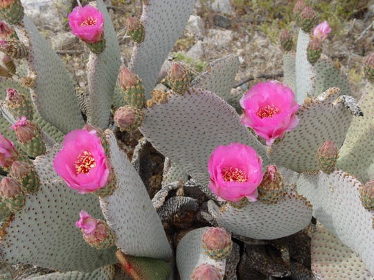 Beaver Tail Cactus-Opuntia Balisaris