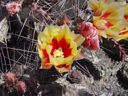 Black Spine Prickly Pear-Opuntia Macrocentra