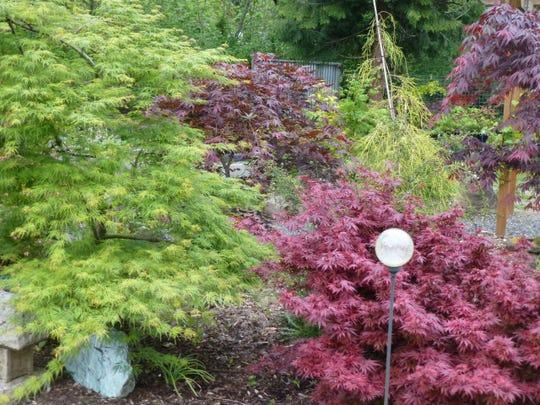 Royle (red shrub), Emerald Lace (green left), Umegae (amber red center), Crimson Carole (red right). The golden weeping conifer is Cupressus macrocarpa Saligna aurea.