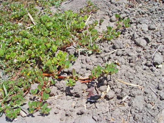 Purslane is a succulent weed that is edible both fresh or stewed.