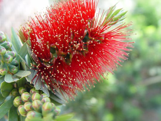 The flowers of bottlebrush are composed of densely packed bright red stamens that hold color for a very long time.