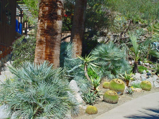 This bough blue species Trachycarpus princepus is very cold hardy while thriving at Colony 29 in Palm Springs.