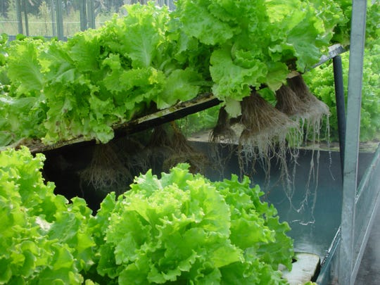 Aeroponically grown lettuce is seen at a facility.