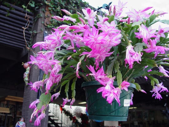 Large blooming Christmas cactus are always available at Moller's Garden Center to hang or use as a holiday table decoration.