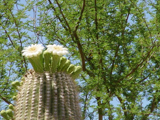 Large flowers held aloft into the night air by saguaro emit fragrance that lures bats long distances to their nectar reward.