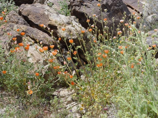 Where To See Wildflowers In Coachella Valley