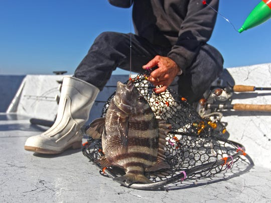 Sheepshead of this size yield enough meat to make them worth  keeping and cleaning.