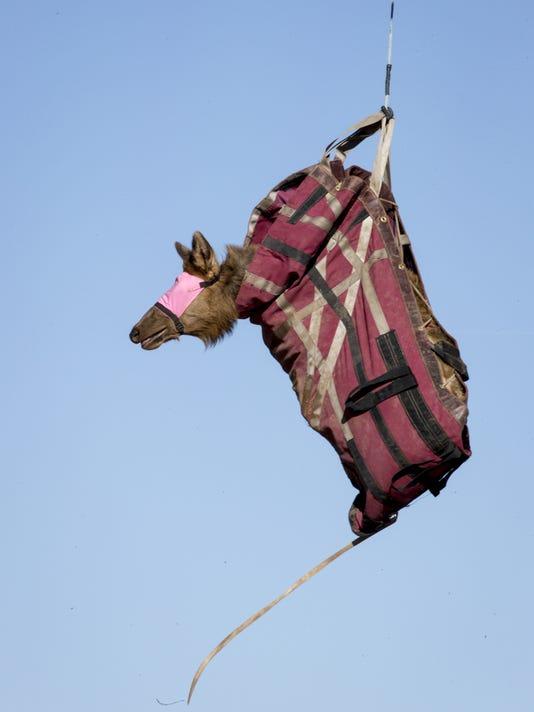 arizona elk repopulate the east first in kentucky now west virginia