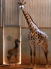 Phoenix Zoo's new baby giraffe is cared for by her
