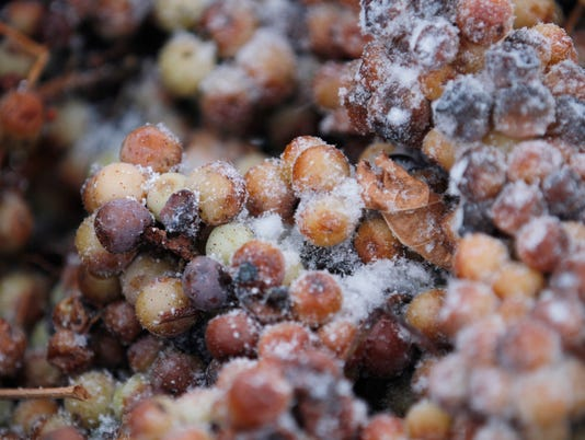 harvested grapes for ice wine