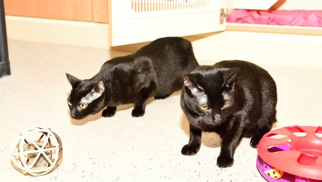 We are a part of a litter of six cats who have grown up in the shelter for almost a year. Take us home with you!