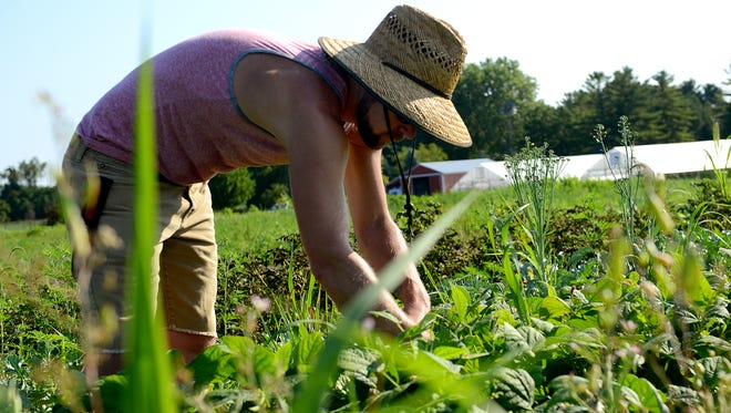 Mathias Hoppes, owner of Fourstone Farms, picks blue lake green beans on his plot of land at the Lansing Roots Farm on Wednesday, August 3, 2016, in Mason. Hoppes is in his first year of program and is hoping to last the full five years allotted. He's works as a server during the evening and working in the field during the day, along with bringing produce to area markets.