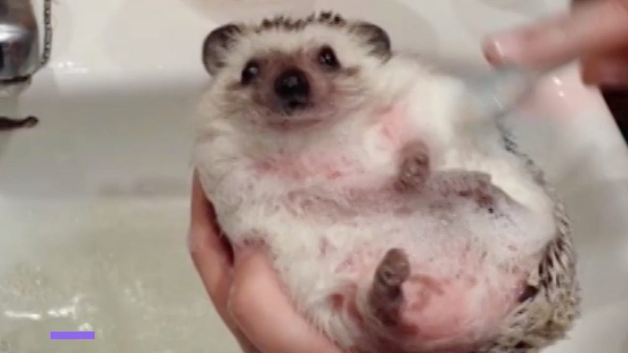 Pet hedgehog is pampered with a bath