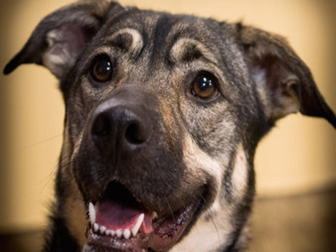 APRIL 21 – Belle is a 2 1/2 –year-old shepherd mix