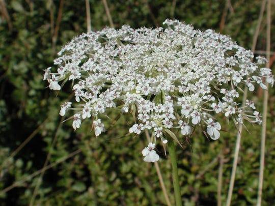 The creosote bubbled up out of the railroad ties, glossy black pearls scattered over the old pine boards, and its scent mingled with the carroty perfume of Queen Anne's lace.