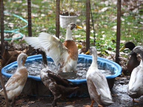 A group of ducks are seen in the garden of Diana Van