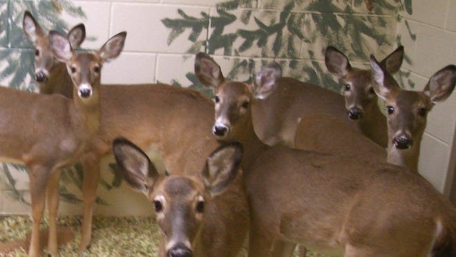 This photo provided by the journal Science shows white-tailed deer at the Colorado State University Chronic wasting disease Research Facility in Fort Collins, Colo.