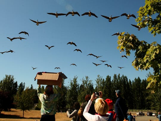 A flock of Canada geese fly over the crowd that gathered