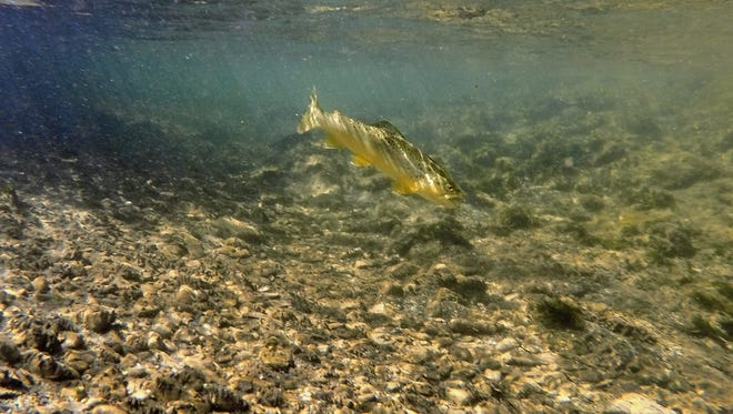 A brown trout swims along a creek bed near White Sulfur Springs in 2014.