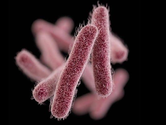 Shigella bacteria