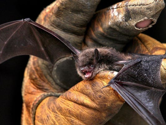 -Bat-disease-AP.JPG