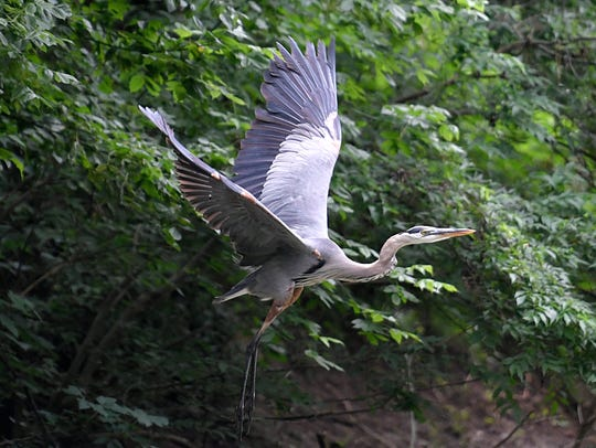 A great blue heron flys along the banks of the Harpeth