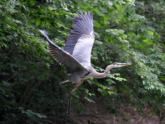 A great blue heron flys along the banks of the Harpeth River in Franklin on June 21, 2017.