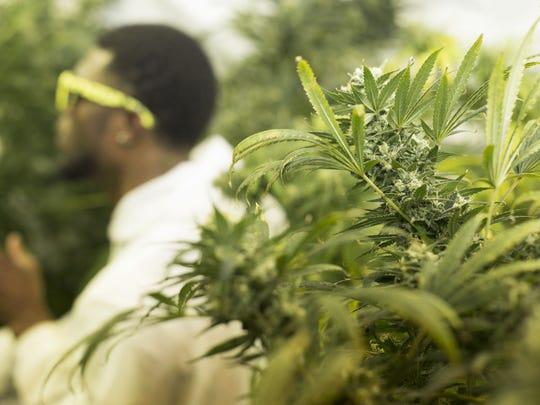 Treyous Jarrells' grow room is filled with about 20 marijuana plants in his basement in June.