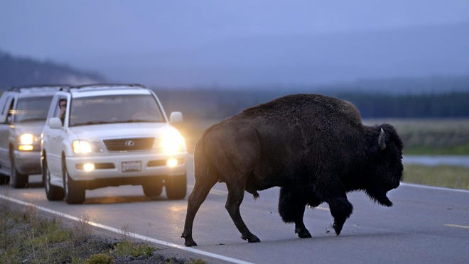 A Yellowstone National Park bison crosses the road in the Hayden Valley at dusk, August 14, 2017. The park reportedly recorded its second busiest season ever in 2017, just behind 2016.