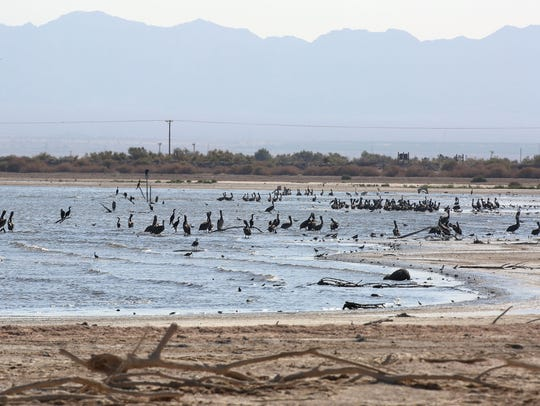 Thousands of birds roost at the Sonny Bono National