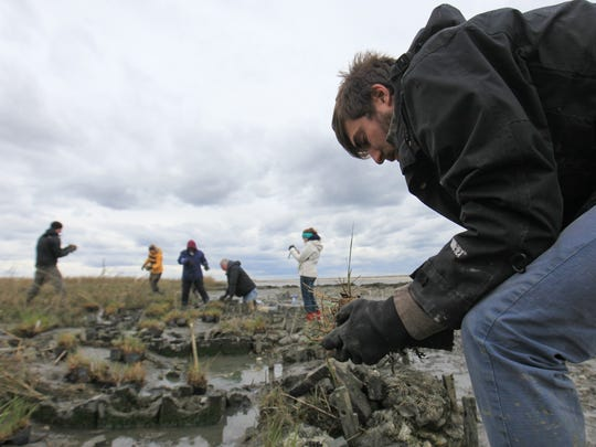 Spencer Roberts, with The Partnership for the Delaware Estuary, helps plant smooth cordgrass near Slaughter Beach.