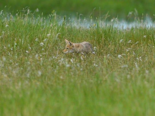 A young coyote hangs near it's den at Benton Lake National