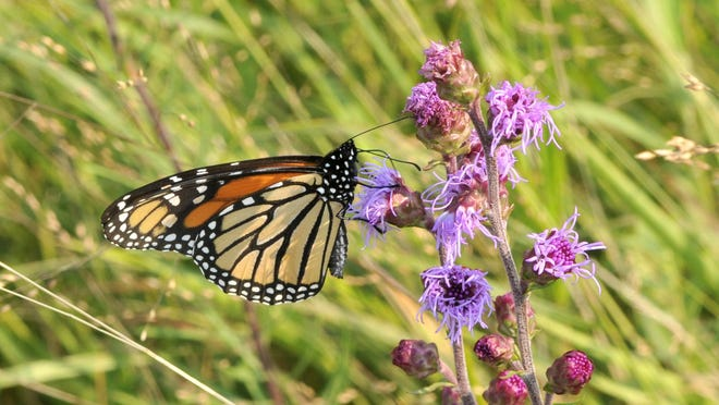 A monarch butterfly feeds on a spike of blazing star. Waiting to mow until fall flowers have finished blooming is one way to help a monarch in the fall.