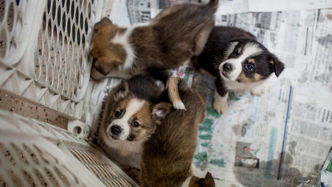 A litter of puppies sit in a pen Thursday, June 16, 2016 at the Humane Society of St. Clair County SNAP in China Township. The nine Norwegian buhund puppies were surrendered to SNAP after 98 dogs were seized from a Cottrellville Township home. The puppies have been placed in foster homes before they are put up for adoption.
