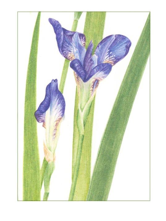 Barbara Holmer, Iris Detail, Colored Pencil.jpg