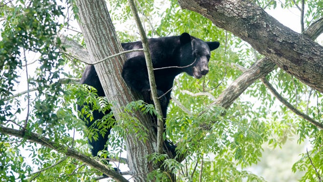 A black bear sits in a tree July 24 in a vacant lot next to the McDonald's on Fairfield Drive.