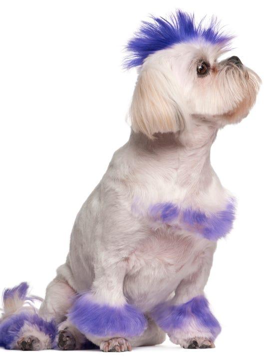 Shih Tzu with purple mohawk, sitting, white background.