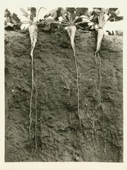 Sugar beet roots growing in the ground.