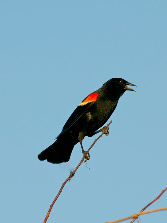 635942632171117840-red-winged-blackbird.jpg