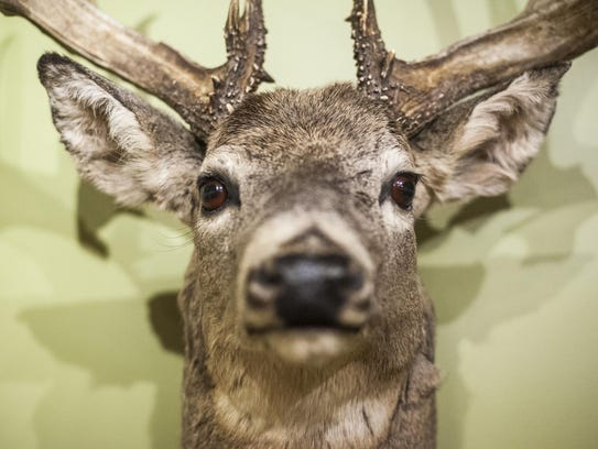 A taxidermied deer hangs in the Montana Historical