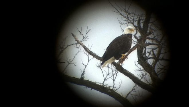 A mature bald eagle, viewed through a spotting scope, perches in a tree Saturday above South Slang of Otter Creek in Addison County.
