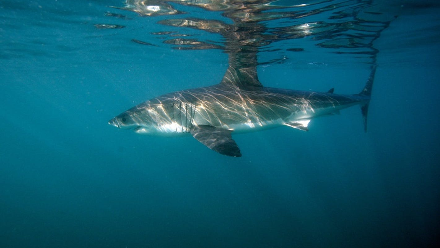 florida researchers probe shark genes for clues to cancer