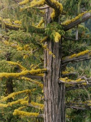 Yellow-cedar tree growing east of the Cascade Crest in Washington state.