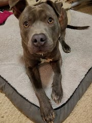 Carl is a 1-year-old, neutered-male pit bull terrier