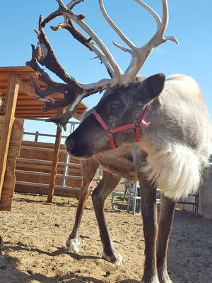 Reindeer will be on exhibit at the Santa Barbara Zoo through Jan. 1.