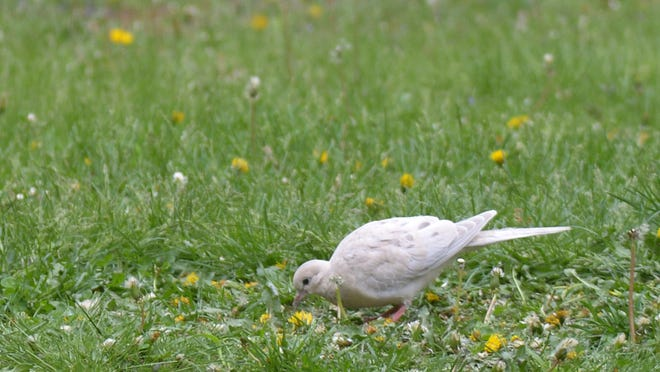 A leucistic mourning dove hunts for food beneath bird feeders. Leucistic birds lack melanin in their feathers, which gives them a grayish-white appearance.