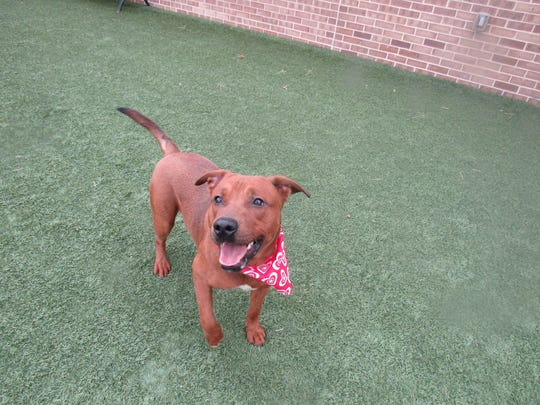 Copper is a male mixed-breed   reddish color dog available