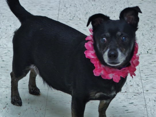 Mae is a 7-year-old Chihuahua mix, near as we can tell.