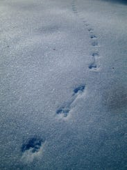 Mice leave an out-sized footprint on the forest as