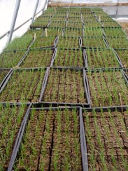 Trays of onion starts growing last spring in a greenhouse
